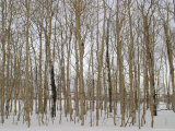 A Stand of Bare Trees in Snow at Grand Teton National Park Photographie par Jim Webb