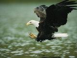 An American Bald Eagle Lunges Toward its Prey Below the Water Stampa fotografica di Klaus Nigge