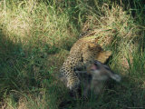 Leopard Kills an Antelope in Search of a Meal Photographic Print by Kim Wolhuter