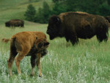 An American Bison Calf Grooms Itself Photographic Print by Annie Griffiths