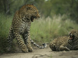 Leopards Exchange Aggressive Growls After Mating Photographic Print
