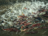 A School of Salmon Migrating to Spawning Grounds Fotoprint van Klaus Nigge