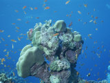 A School of Fish Surround a Coral Reef in the Red Sea, Egypt Photographic Print by Carsten Peter
