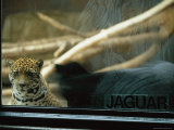 A Jaguar Peers Through a Window in its Enclosure Photographic Print by Joel Sartore