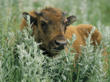 Portrait of an American Bison Calf Photographic Print by Annie Griffiths