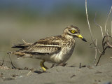 A Stone Curlew Rests in the Sand Photographic Print by Klaus Nigge
