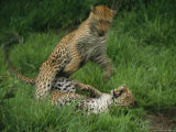 Leopards Exchange Aggressive Growls After Mating Photographic Print by Kim Wolhuter