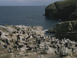 Coastal Rookery of Blue Eyed Cormorants and Black Browed Albatrosses Photographic Print by Gordon Wiltsie