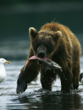 A Brown Bear Eating a Freshly Caught Salmon Impressão fotográfica por Klaus Nigge