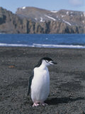 A Chinstrap Penguin on the Beach at Deception Island Photographic Print by Gordon Wiltsie