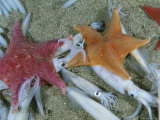 Bat Starfish Make Meals Out of Opalescent Inshore Squid Photographic Print by Brian J. Skerry