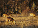 White-Tailed Deer Eating in a Meadow Photographic Print by Raymond Gehman