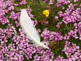 A Bird Feather Among Saxifrage Flowers on Edgeoya Island Photographic Print by Ralph Lee Hopkins