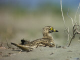 A Stone Curlew Rests in the Sand Photographie par Klaus Nigge