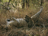 Baby Leopard Nurses during the Heat of the Day Photographic Print by Kim Wolhuter