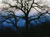 An Oak Tree in Silhouette in the Shenandoah Valley Photographic Print by Raymond Gehman