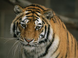 A Close View of the Face of a Siberian Tiger in a Zoo Photographic Print by Joel Sartore