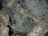 Leopard Leaps from One Tree Branch to Another Photographic Print by Kim Wolhuter
