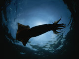 Giant Or Humboldt Squid in Silhouette from Below Photographic Print by Brian J. Skerry
