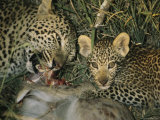 Leopard Tears Apart its Kill Teaching her Cub to Eat Photographic Print by Kim Wolhuter