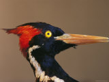 Close View of an Ivory-Billed Woodpecker (Campephilus Principalis) Photographic Print by Joel Sartore