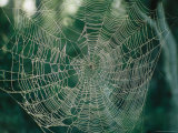Dawn Highlights a Damp Geometrical Spider Web with Spider Photographic Print by Stephen St. John