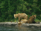 A Brown Bear Mother and Two Cubs Resting at the Waters Edge Photographic Print