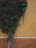 A Flowering Bugambilia Shrub Climbing the Wall of a Building Photographic Print by Raul Touzon