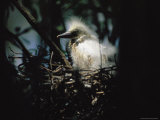 A Baby Snowy Egret Peers from its Nest Photographic Print by Stephen St. John