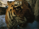 Khuntami, a Male Siberian Tiger, Investigates the Photographer Photographic Print by Joel Sartore