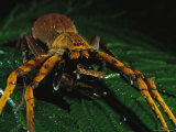 A Large Spider Eating a Meal Photographic Print by Tim Laman