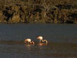 Greater Flamingos Forage in a Lagoon on Floreana Island Photographic Print by Ralph Lee Hopkins