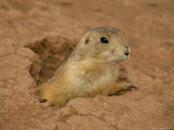 Close View of a Prairie Dog Emerging from its Den Photographic Print by Annie Griffiths