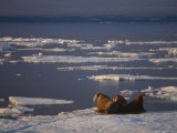 A Trio of Atlantic Walruses Bask on the Pack Ice of Svalbard Photographic Print by Ralph Lee Hopkins
