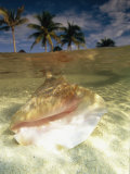 A Conch Shell Rests Beneath the Clear Waters of the Gulf of Mexico Photographic Print by Michael Melford