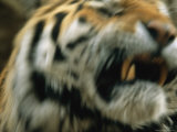 A Close View of Male Siberian Tiger Khuntamis Face in Motion Photographic Print by Joel Sartore