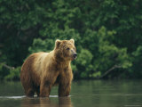 A Brown Bear Standing in Water Fotografisk tryk af Klaus Nigge