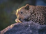 Close View of a Leopard Sunning Himself on a Rock in South Africa Photographic Print
