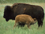 An American Bison Nurses Her Calf Photographic Print by Annie Griffiths