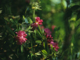 Close View of a Blooming Rhododendron Photographic Print by Raymond Gehman
