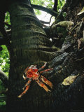 Coconut Crabs, the Largest Land Crustacean, Live Unmolested on Palmyra Photographic Print by Randy Olson