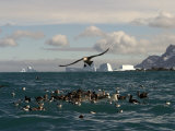 Southern Giant Petrels Feed in Cooper Bay Photographic Print by Ralph Lee Hopkins