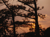 Silhouetted Pitch Pine Needles at Sunset Photographic Print