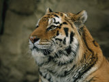 A Portrait of Khuntami, a Siberian Tiger, in His Outdoor Enclosure Photographic Print