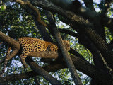 Leopard Rests Lazily Perched on a Tree Limb Photographic Print by Kim Wolhuter