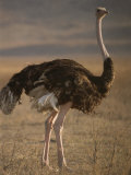 Portrait of an Ostrich in Tanzania Photographic Print by Carsten Peter