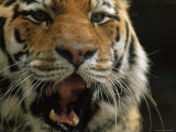 A Close View of the Face of Khuntami, a Male Siberian Tiger Photographic Print