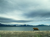 A Brown Bear Walking Along a Shoreline under a Cloudy Sky Photographic Print by Klaus Nigge