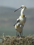 A Pair of White Spoonbill Birds Sit in Their Nest Photographie par Klaus Nigge
