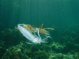 Caribbean Reef Squid Defends its Claim to a Nearby Female Photographic Print by Brian J. Skerry